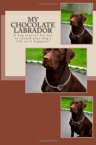 my chocolate labrador